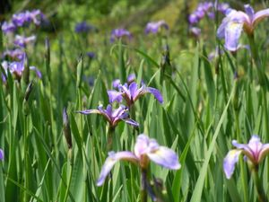 Phantom lake irises