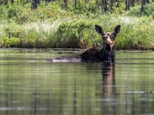 A Moose along Douglas Creek