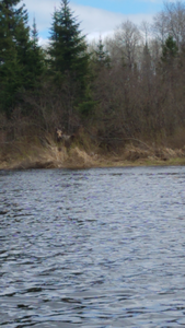 Moose on Pigeon River