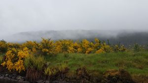 Gorse and mist