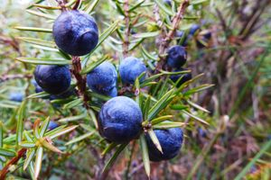 Juniper berries - ripe