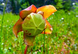 carnivorous pitcher plant blossom, north hegman