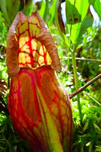carnivorous pitcher plant 3, north hegman