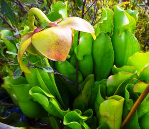 carnivorous pitcher plants and blossom, north hegman