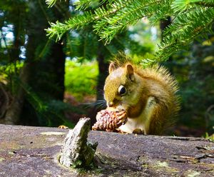 squirrel with cone, ogishkemuncie