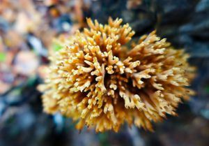 coral mushroom from above, gabimichigami