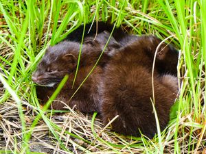 3 mink sleeping outside den on basswood island camp