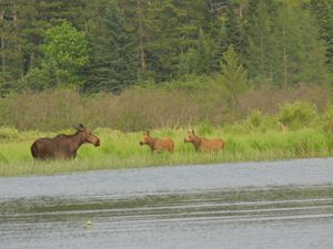 Moose and Calves