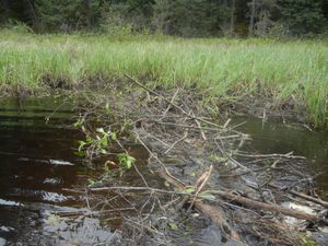 One of Many Beaver Dams