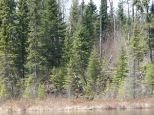 Temperance river Moose