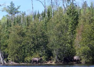 3 Kelly Lake Moose