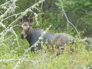 Moose Cow at River's edge
