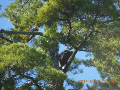 Eagle on Pickerel Lake