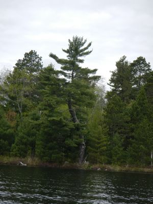 Big Lake tree