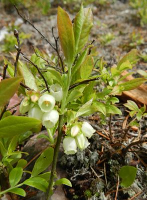 Flowering blueberry plant