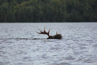 Moose swimming across Gebe