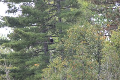 Eagle near finger lake portage