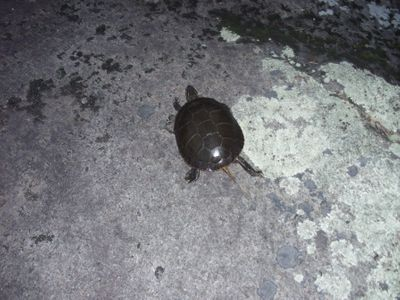 Tuscarora turtle