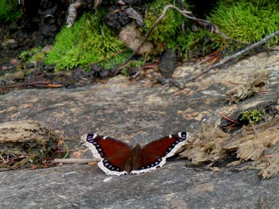 Mourning Cloak in camp