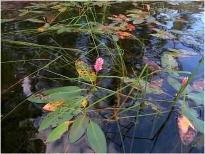 2013-09-07_653S_Quetico Falls Chain-Water Smart Weed.JPG
